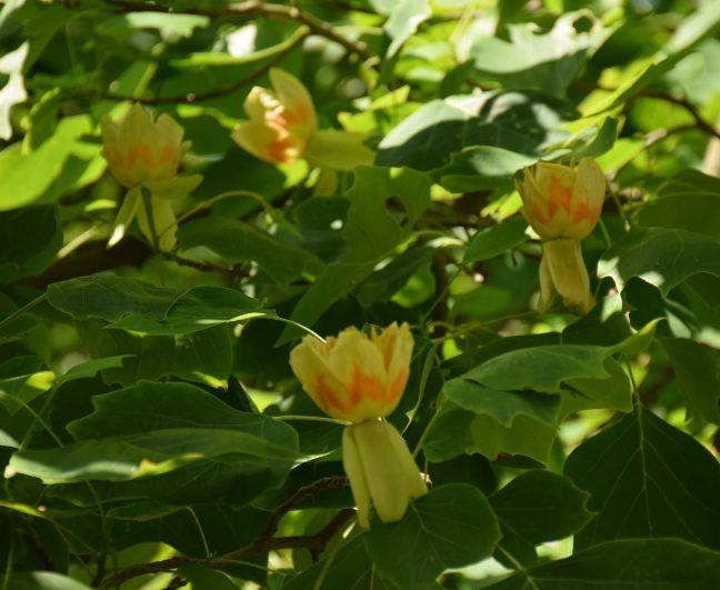 tulpmedis12